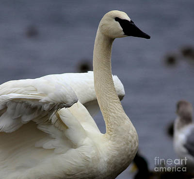 Painting - Wings Raised Trumpeter Swan by Sue Harper