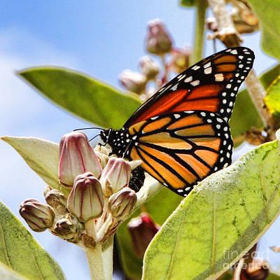 Photograph - Wings Up Monarch Butterfly By Diana Sainz by Diana Raquel Sainz