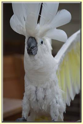 Umbrella Cockatoo Photograph - Wings Up by Wendy Fox