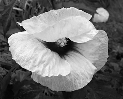 Photograph - Winking Hibiscus In Grey Tones by MTBobbins Photography