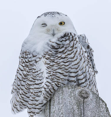 Winking Snowy Owl Art Print by Thomas Young