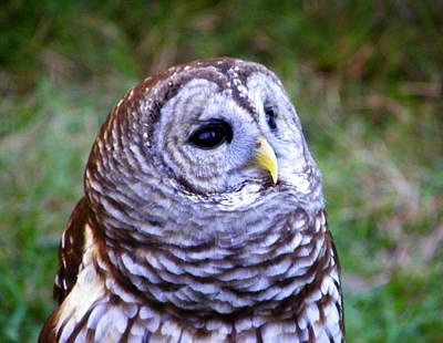 Photograph - Winsom Barred Owl by Judy Wanamaker