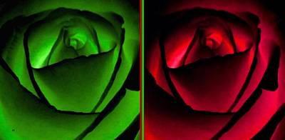 Digital Art - Winsome Roses Pair by Will Borden