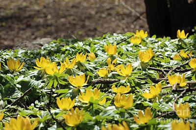 Flower Photograph - Winter Aconites In Sunlight by Kerstin Ivarsson