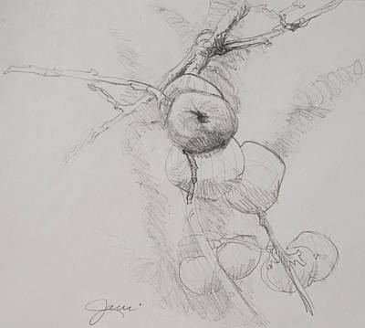 Drawing - Winter Apples Sketch by Jani Freimann