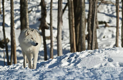 Print featuring the photograph Winter Arctic Wolf by Wolves Only