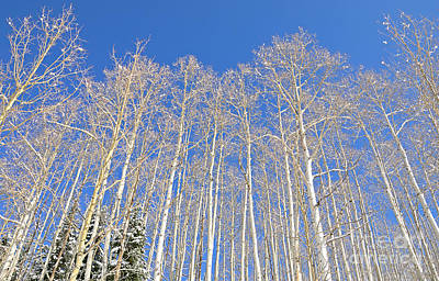 Photograph - Winter Aspen by Kelly Black