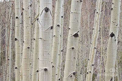 Forest Photograph - Winter Aspen Tree Forest by James BO  Insogna