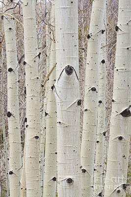 Bo Insogna Photograph - Winter Aspen Tree Forest Portrait by James BO  Insogna