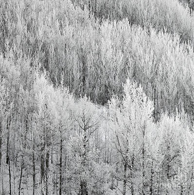 Photograph - Winter Aspens by Dee Cresswell