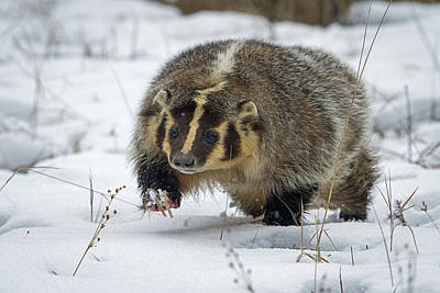 Art Print featuring the photograph Winter Badger by Jack Bell