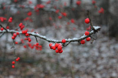 Andrea Grist Wall Art - Photograph - Winter Berries by Andrea K Grist