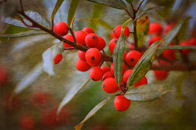 Photograph - Winter Berries by Linda Segerson