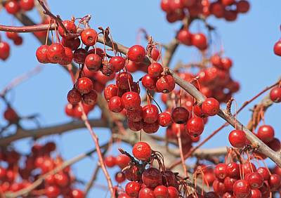 Photograph - Winter Berries by Michael Saunders