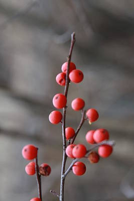 Art Print featuring the photograph Winter Berries by Vadim Levin