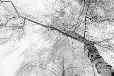 Winter Birch - Bw Art Print by Hannes Cmarits