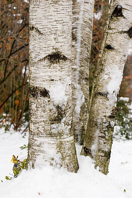 Photograph - Winter Birches by Jim West