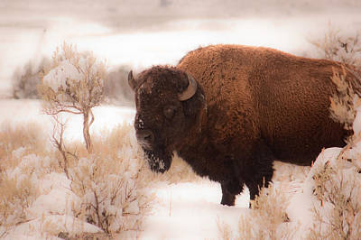 Wall Art - Photograph - Winter Bison by Diana Marcoux