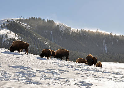 Winter Bison Herd In Yellowstone Art Print by Bruce Gourley