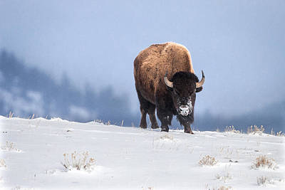 Photograph - Winter Bison by Jack Bell