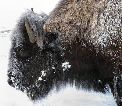 Winter Bison Original