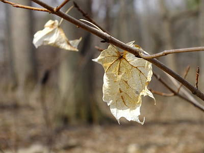 Photograph - Winter Bleached Leaves by Peggy King