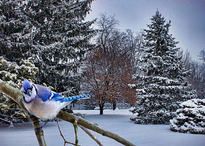 Bluejay Digital Art - Winter Blue Jay by Ron Grafe