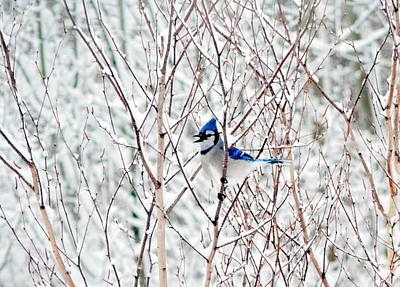 Bluejay Photograph - Winter Blues by Karen Cook