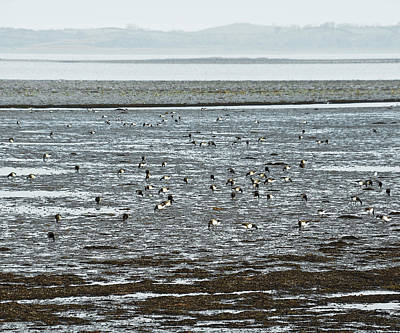 Photograph - Winter Brent Geese On Strangford Lough by Jane McIlroy