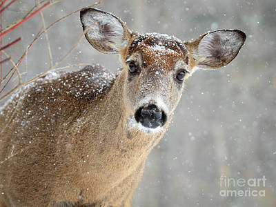 Winter Buck Art Print