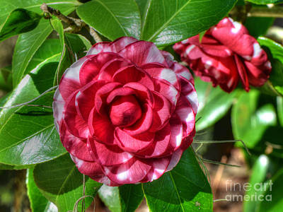 Photograph - Winter Camellia by Kathy Baccari