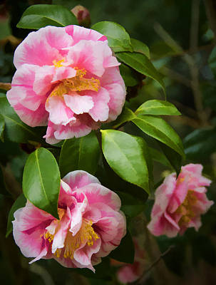 Photograph - Winter Camellias by Penny Lisowski