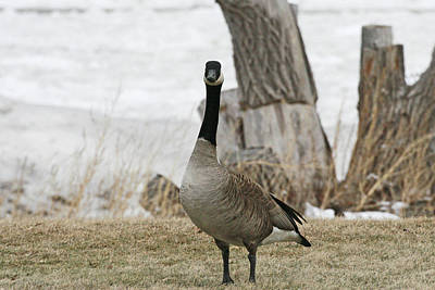 Beach Scenes Photograph - Winter Canadian Goose by Michael Allen