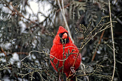 By Thomas Woolworth Photograph - Winter Cardinal 03 by Thomas Woolworth