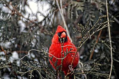 Winter Cardinal 03 Art Print by Thomas Woolworth