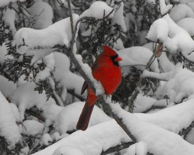 Photograph - Winter Cardinal by David and Lynn Keller