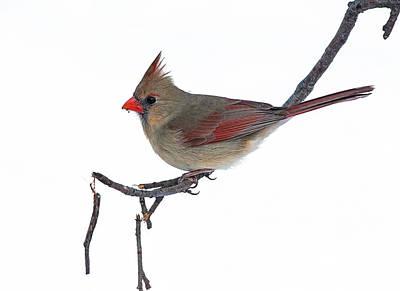 Winter Cardinal II Art Print