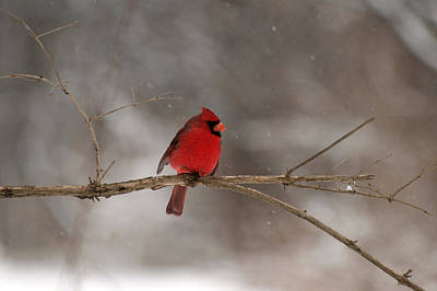 Photograph - Winter Cardinal by Joshua House