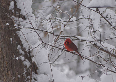 Photograph - Winter Cardinal by Ron Read