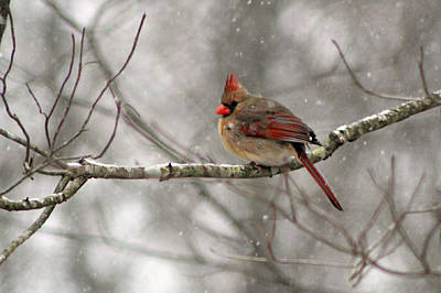 Photograph - Winter Cardinal by William Tanneberger