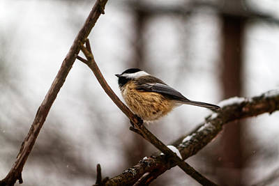 Photograph - Winter Chickadee by Lars Lentz