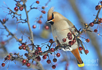 Waxwing Photograph - Winter Colors.. by Nina Stavlund
