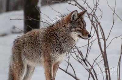 Photograph - Winter Coyote by Bianca Nadeau