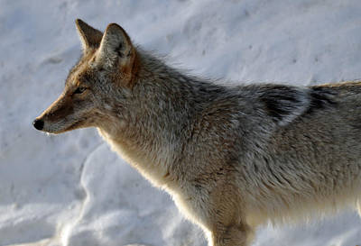 Winter Coyote In Yellowstone Art Print by Bruce Gourley