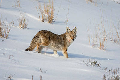 Photograph - Winter Coyote by Jack Bell