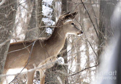 Photograph - Winter Deer by Jill Bell