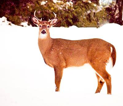 Photograph - Winter Deer by Sara Frank