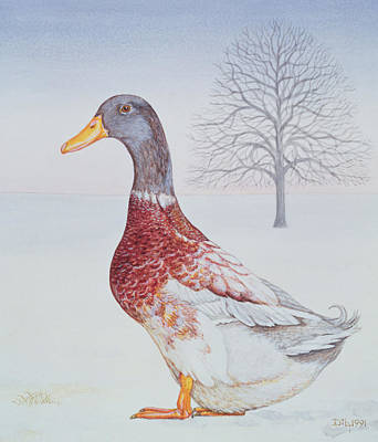 Mallard Duck Painting - Winter Drake by Ditz