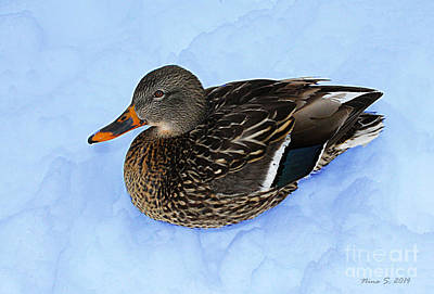 Photograph - Winter Duck by Nina Silver