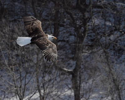 Photograph - Winter Eagle Flight by Coby Cooper